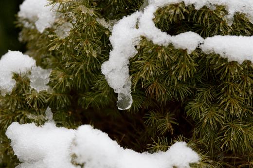 wet-snow-fir.png