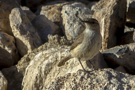 desert birdie