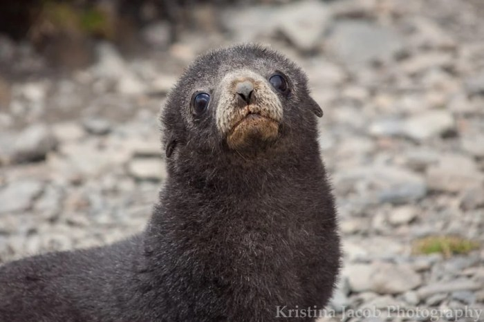 A fur seal pup Stromness Harbour, South Georgia Island. Photo: Kristina Jacob.
