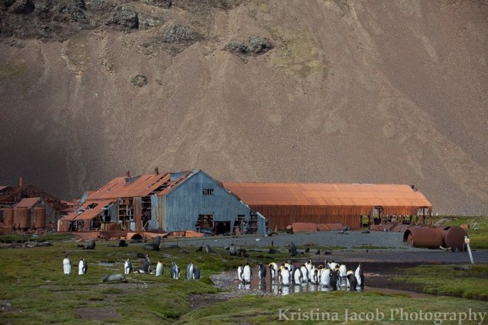 King penguins inhabit a derelict whaling station in Stromness Harbour, South Georgia Island. Photo: Kristina Jacob.