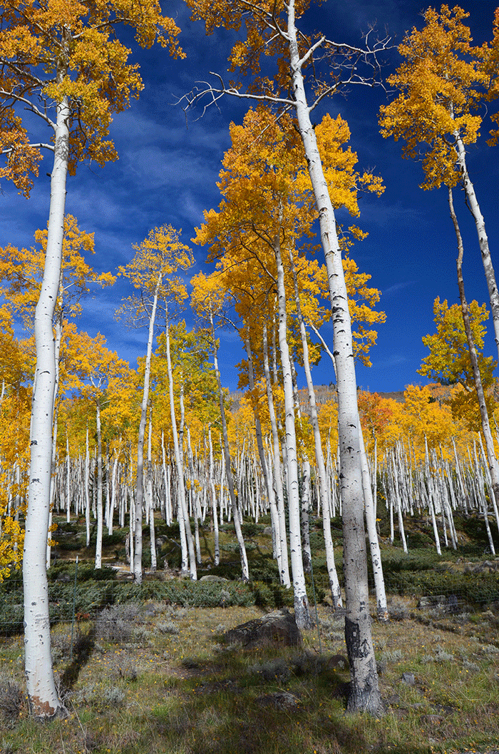 The Pando quacking ashen colony near Fish Lake in Utah. Photo by J Zapell, USDA Forest Service.