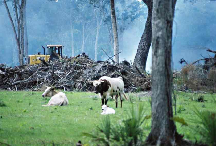 A forest being cleared for cattle grazing in Florida.  Photo: Randolph Femmer, USGS. Public domain.