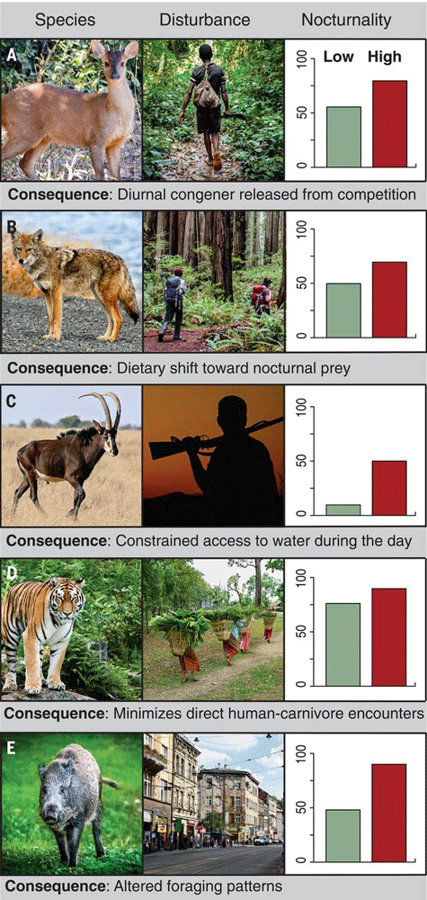 Case studies highlighting the influence of human activity on nocturnal shifts in animal behavior. Figure: Gaynor et al., 2018.