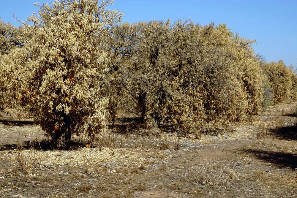Non-diverse tree populations like this orange grove can potentially make drought conditions worse. Photo: Cynthia Mendoza, USDA, Fresno Harlen Ranch in Fresno, CA, 2014, public domain.