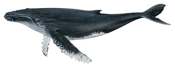 Humpback Whale Megaptera novaeangliae. Source: NOAA, public domain.