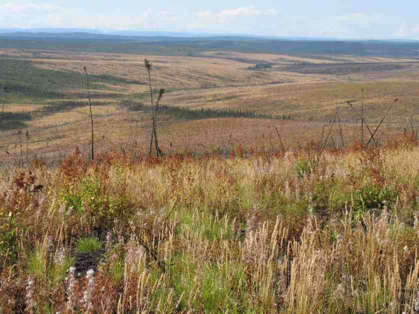 Young-burned black spruce forest regenerating to non-forested tundra. Carissa Brown