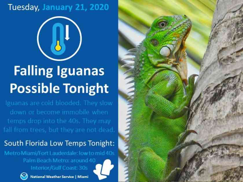 """The National Weather Service in Miami recently issued a """"falling iguana"""" warning during a cold spell."""