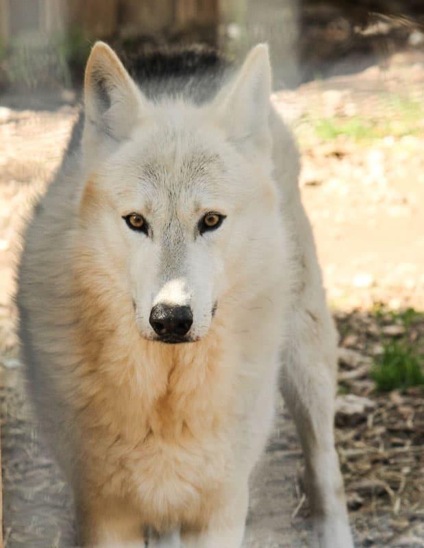 A wolf-dog hybrid.  Photo: BrandonLord, CC BY-ND 2.0