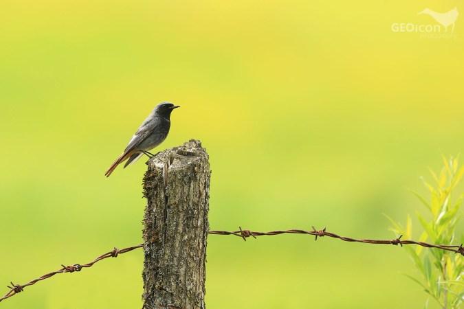Black redstart / rehek domácí (Phoenicurus ochruros)