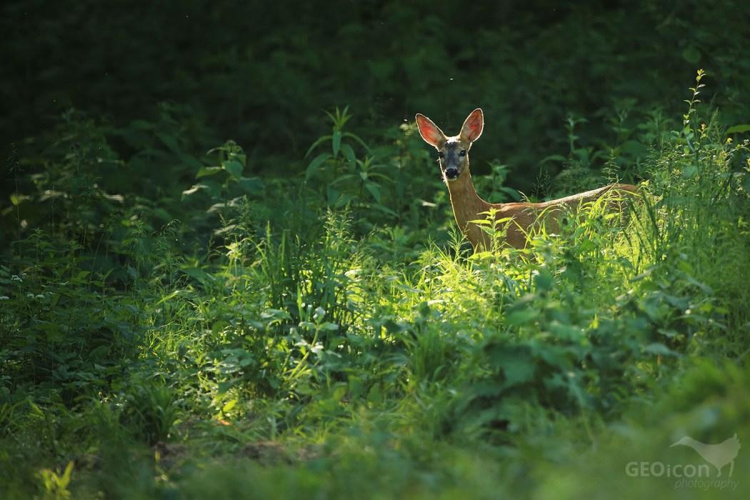 Roe deer / srnec pbecný (Capreolus capreolus)