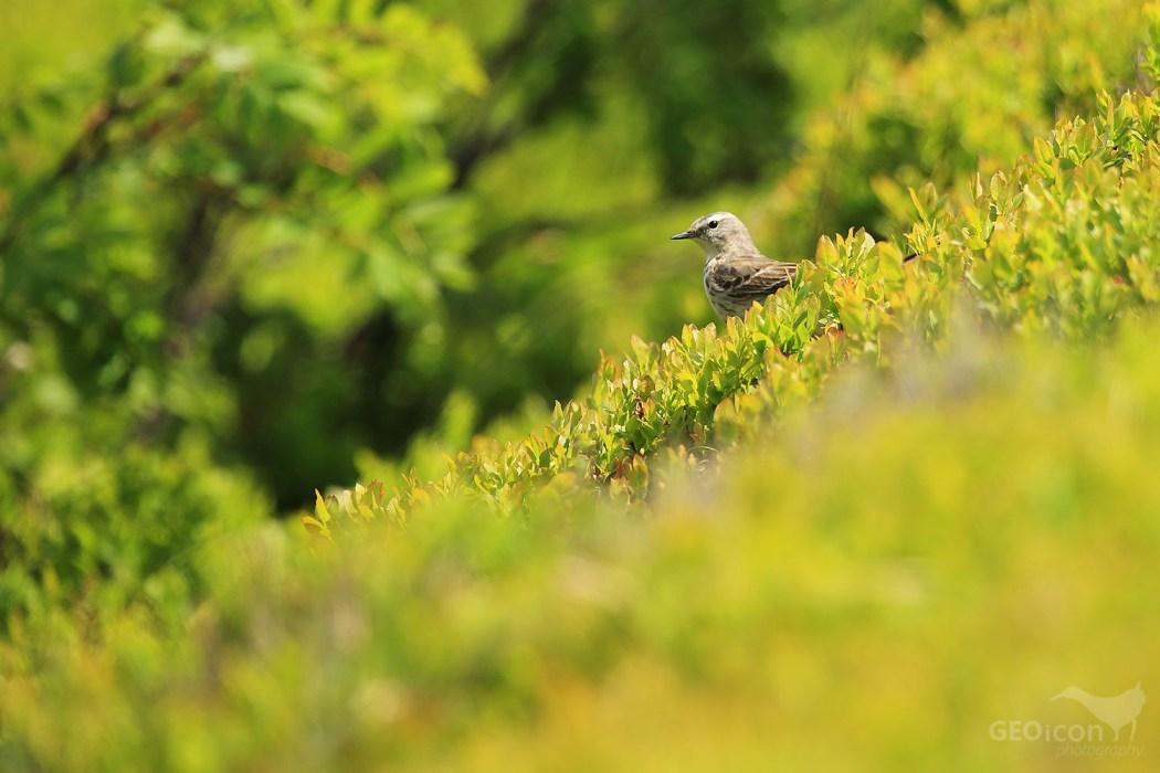 Water pipit / linduška horská  (Anthus spinoletta)