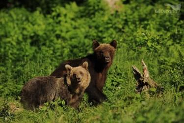 Brown bear / medvěd hnědý (Ursus arctos)