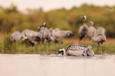 Crane / jeřáb popelavý (Grus grus)