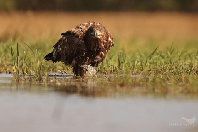 White tailed eagle / orel mořský (Haliaeetus albicilla)