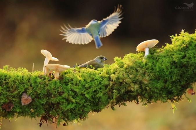 Greenfinch / zvonek zelený (Carduelis chloris)