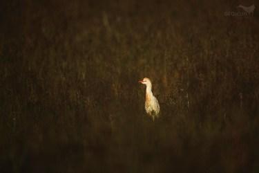 Cattle egret / volavka vlasatá (Bubulcus ibis)