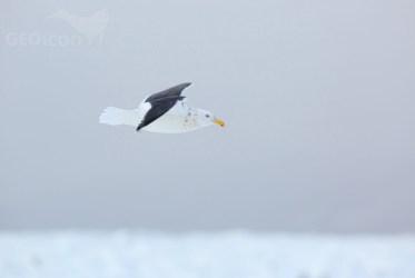 Slaty-backed gull / racek kamčatský (Larus schistisagus)
