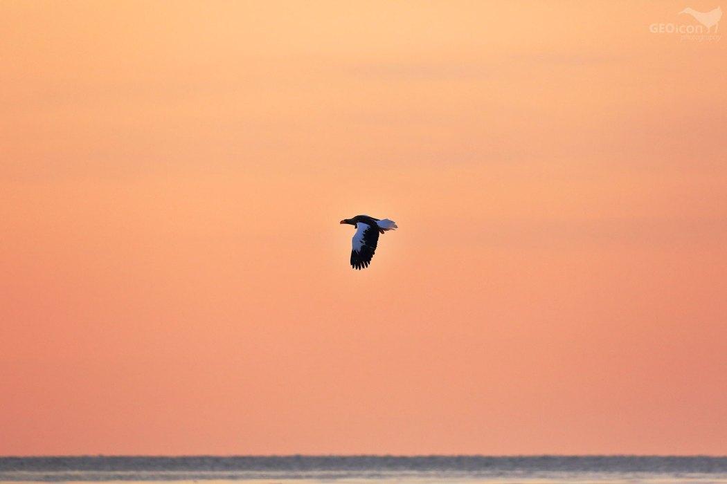 Steller´s sea eagle / orel východní (Halliaetus pelagicus)