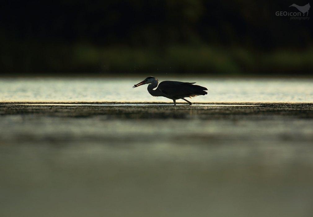 Great heron ( volavka popelavá (Ardea cinerea)