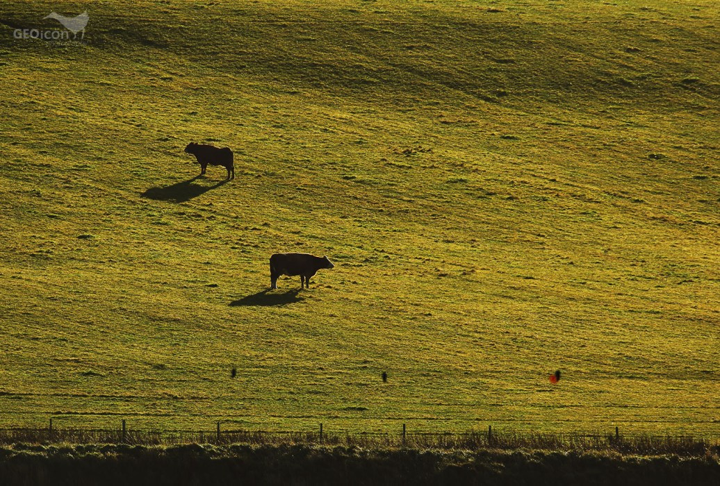 Pasture with cows, Orkneys islands, Scotland.