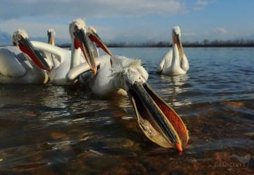 Dalmatian pelican / pelikán kadeřavý (Pelecanus crispus)