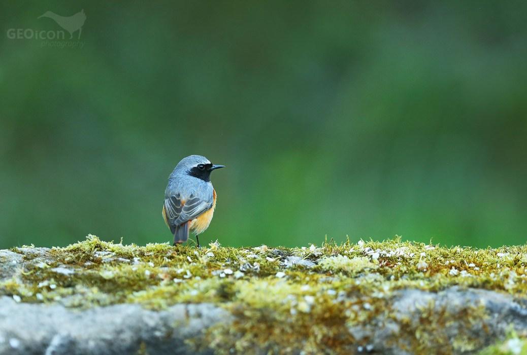 Redstart / rehek zahradní (Phoenicurus phoenicurus)