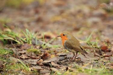 Robin / červenka obecná (Erithacus rubecula)