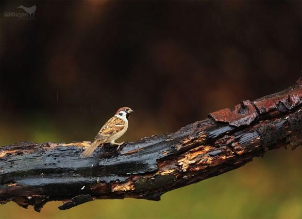 Tree sparrow / vrabec polní (Passer montanus)