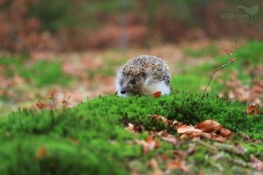 Northern white-breasted hedgehog / ježek východní (Erinaceus concolor)