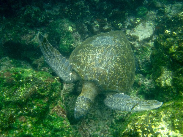 Sea turtles were a more common sight than their giant land-dwelling cousins.