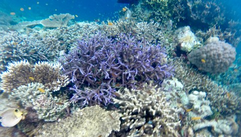 Purple coral in the lagoon- its color may be a sign of distress