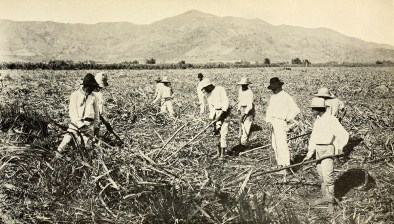 Clearing a cane field.