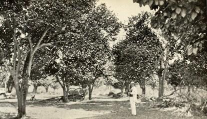 Orange grove in Mayagüez.