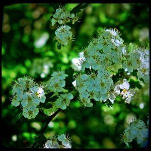 Hawthorn essence properties