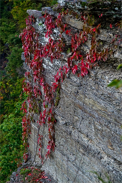 red vines on gorge wall