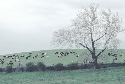 sycamore tree with cows