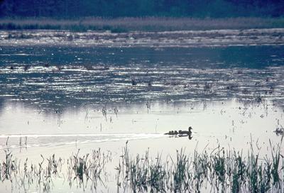 ducks at Montezuma