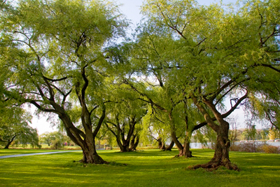 willows