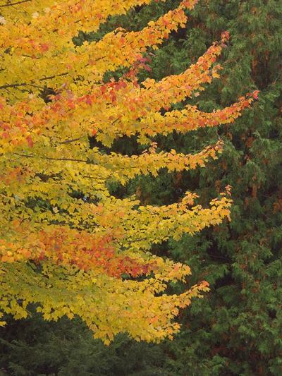 maple in autumn