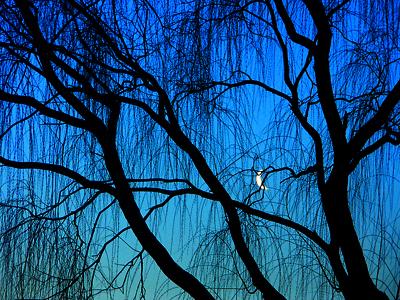 moon through willows