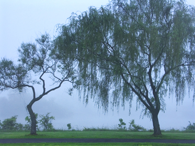 willows in the fog