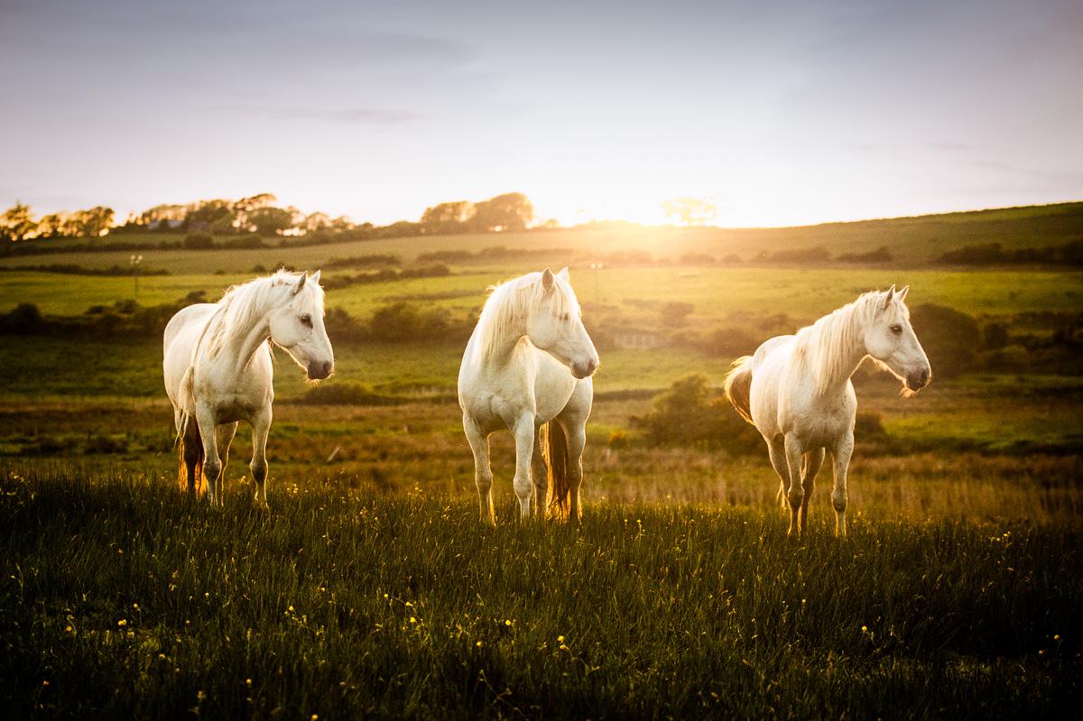 Three White Horses Posse At Sunset Ireland