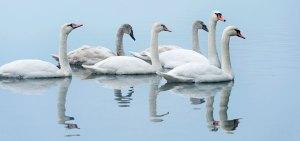 Cigni su lago swan ecolabel certificazione rispetto della natura