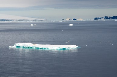 Weddell seal on berg with penguins