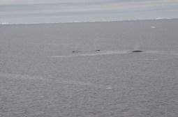Minkie Whales