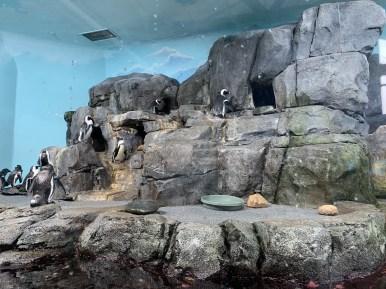 Penguin feeding_1083