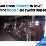 PeTA quält vorsätzlich Kühe, für Videoaufnahmen