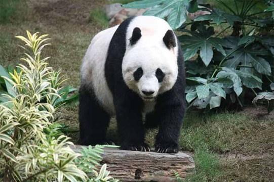 Große Pandas immer noch gefährdet / Foto: Wikipedia - J. Patrick Fischer