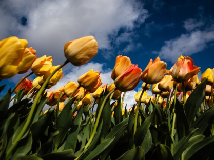 Wind and Tulips