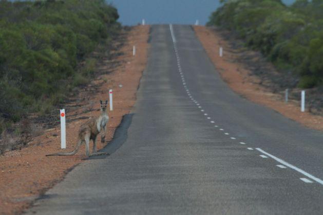 kangaroo01